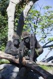 大猩猩s二 库存图片