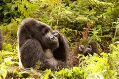 大猩猩Silverback休息的姿势 库存照片