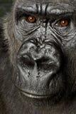 大猩猩silverback年轻人 库存图片