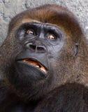 大猩猩silverback 库存图片