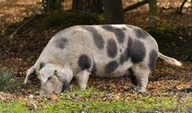 大猪在新的森林里 免版税库存图片