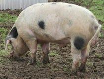 大猪 免版税库存图片