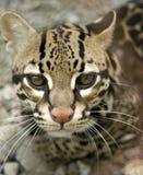 大猫关闭肋前缘豹猫rica 免版税库存照片
