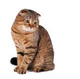 大猫坐的画象  图库摄影