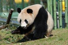 大猫熊巨型melanoleuca熊猫 免版税图库摄影