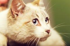 大猫眼睛 库存图片