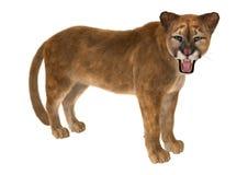 大猫美洲狮 免版税图库摄影
