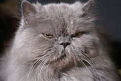 大猫肥胖波斯语 库存图片