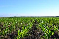 大玉米种植园 免版税图库摄影