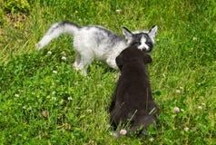 大理石和银狐(狐狸狐狸)对峙 免版税库存图片
