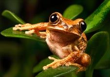 大理石芦苇青蛙 免版税库存照片
