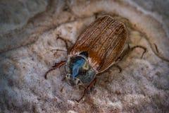 大甲虫 免版税库存照片