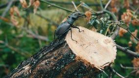 大甲虫Lucanus鹿沿树吠声爬行 股票视频