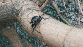 大甲虫Lucanus鹿沿树吠声爬行 股票录像