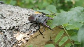大甲虫Lucanus鹿沿树吠声爬行 影视素材