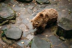 大男性棕熊在岩石石头附近走 库存图片