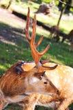大白尾鹿大型装配架 库存照片