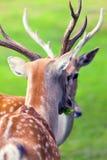 大白尾鹿大型装配架 免版税库存图片