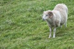 大白色公羊绵羊 免版税库存图片