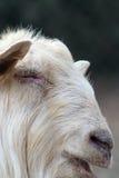 大白色公羊画象  免版税库存照片