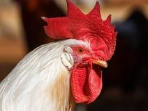 大白色公鸡画象  库存照片