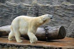 大白色北极熊走的慢照片 免版税图库摄影