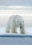 大白色北极熊,在与雪的流冰,斯瓦尔巴特群岛,挪威 免版税库存照片