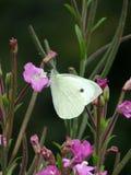 大白色女性蝴蝶哺养 库存照片