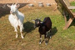 大白色山羊和一只小黑山羊 库存图片