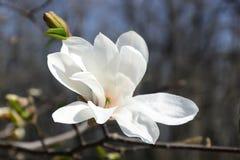 大白色木兰 免版税库存照片