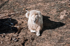 大白色狮子放松 免版税库存照片