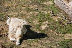 大白色狮子放松 免版税库存图片