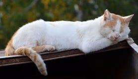 大白色猫睡眠 免版税库存图片