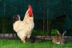 大白色站立在草的雄鸡和两只兔子 免版税库存照片
