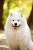 大白色萨莫耶特人狗 免版税库存照片