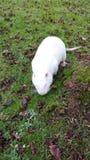 大白色象老鼠般的啮齿目动物 免版税库存照片