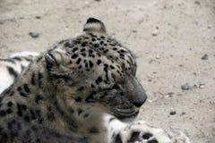 大白色豹子的头 免版税图库摄影