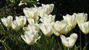 大白色郁金香在阳光下 免版税库存图片