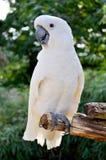 大白色鹦鹉美冠鹦鹉 图库摄影