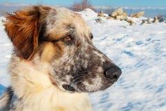 大白色,黑和棕色颜色狗枪口  免版税库存图片
