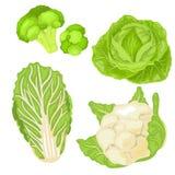 大白菜 在白色背景的被隔绝的圆白菜 10 eps 也corel凹道例证向量 库存图片