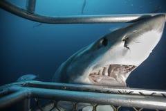 大白鲨鱼南澳大利亚 免版税库存图片