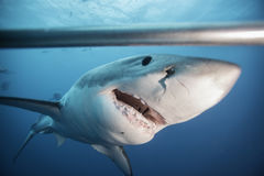 大白鲨鱼南澳大利亚 图库摄影