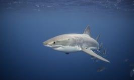 大白鲨鱼南澳大利亚 库存图片