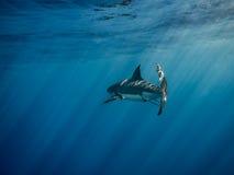 大白鲨鱼在太阳下的尾鳍游泳在蓝色发出光线 免版税库存图片