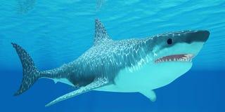 大白鲨鱼在海中 免版税库存照片