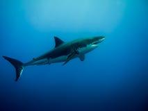 大白鲨鱼在蓝色海洋 免版税图库摄影