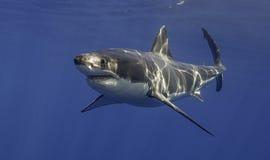 大白鲨鱼墨西哥 免版税库存图片