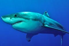 大白鲨鱼摆在 免版税库存照片
