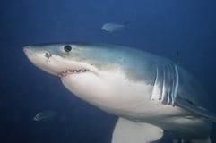 大白鲨鱼海王星海岛南澳大利亚的水下的看法 免版税库存照片